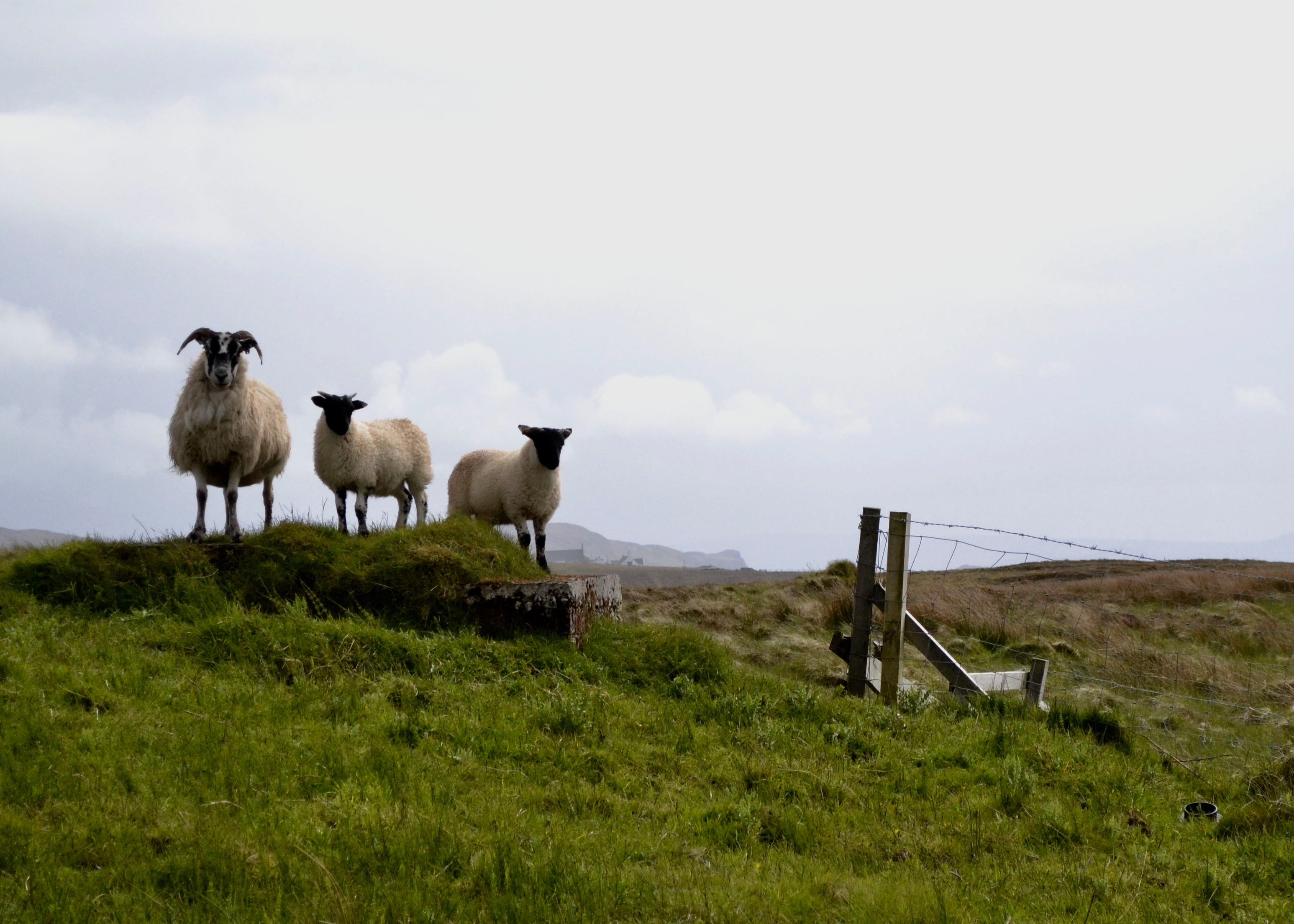 A group of sheep stand near Kilmuir Cemetery on the Isle of Skye, Scotland, June 6, 2015.